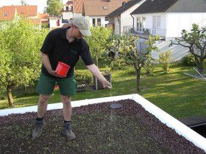 Ausbringen des Saatguts und der Sedumsprossen.