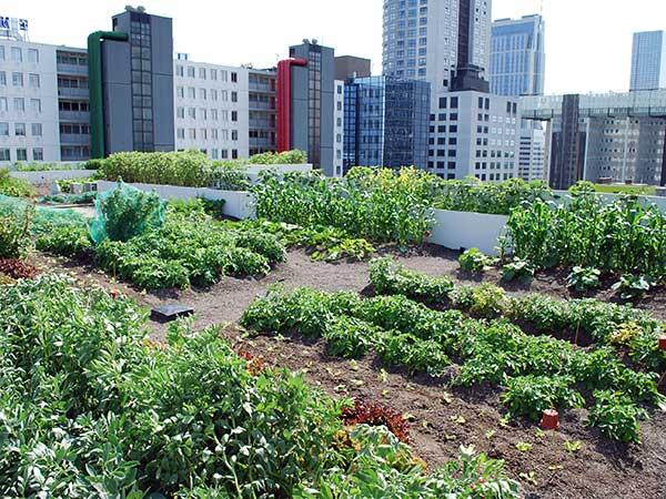 Urban Gardening: Anbau von Obst und Gemüse auf dem Gründach in der Großstadt.