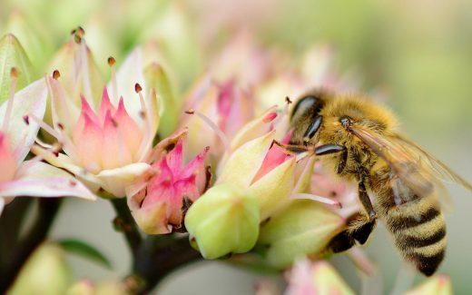 Eine Biene auf einem Mauerpfeffer.