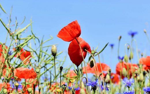 Blumenwiese mit Klatschmohn