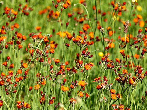 Orangerotes Habichtskraut (Hieracium aurantiacum)