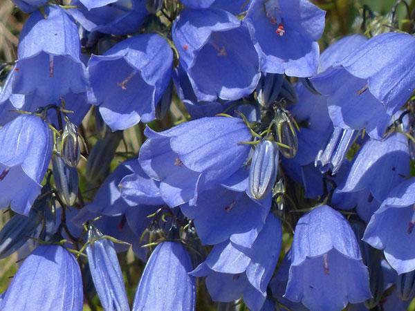 Zwergglockenblume (Campanula cochleariifolia)